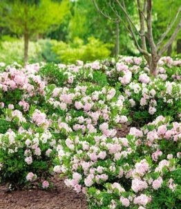 Rhododendron (1 Pflanze)